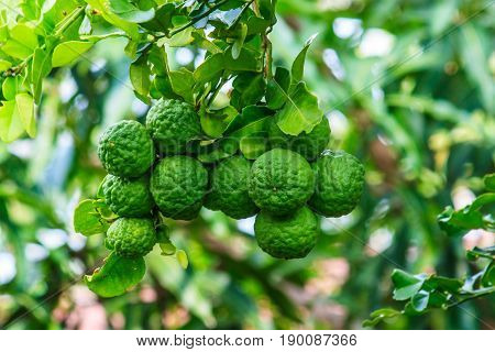 Close -up green bergamot or Kaffir lime on tree wiht burry background.