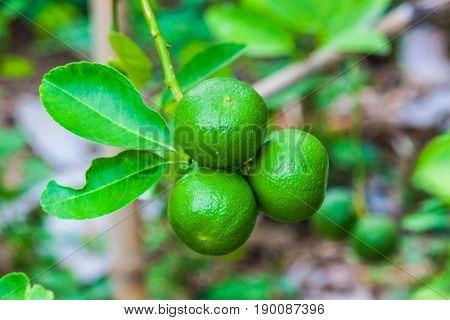 Close -up green lemons on lemon tree wiht burry background.