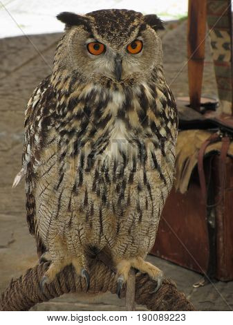 Portrait of long-eared owl ( Asio otus Strigidae family )
