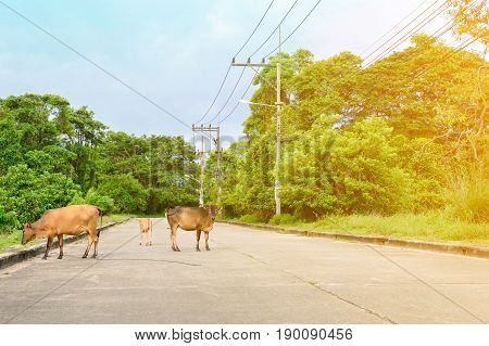 Cow walking on the road and two sides of the street forest at daytime