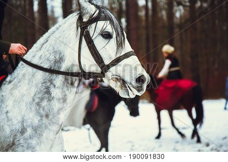 Riding on the white andalusian horse with bridle in winter forest. Historical reconstruction of famous russian hunting.