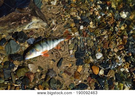 Green striped perch fish with red flippers on yellow sand stones and colorful pebbles background under water on river beach in Siberia