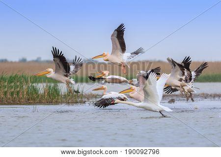 white pelicans (pelecanus onocrotalus) in Danube Delta Romania