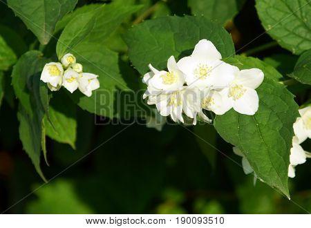 Bush branch with white flowers of jasmine. White aroma flowers of jasmine.