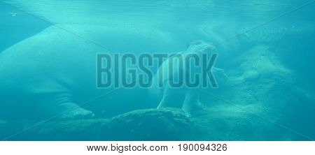 Under water hippopotamus cub (Hippopotamus amphibius), or hippo, from the ancient Greek for
