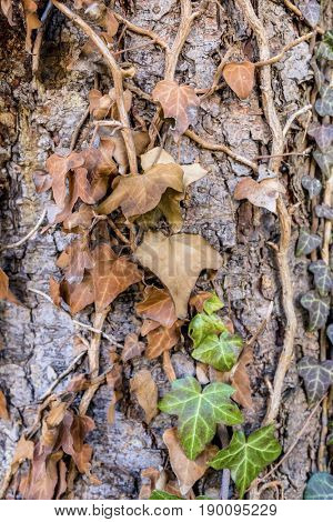 brown ivy on tree trunk