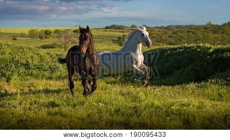 Dapple-grey and bay horses run on green field on the blue sky background