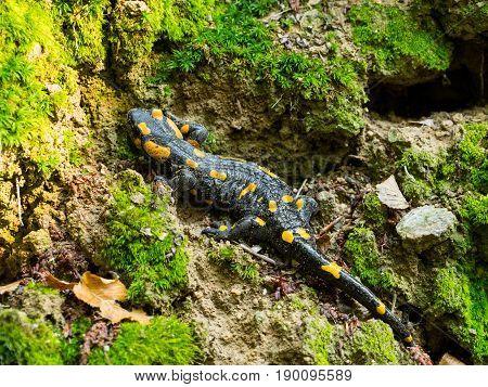 Wild salamandra in the nature, salamander close-up