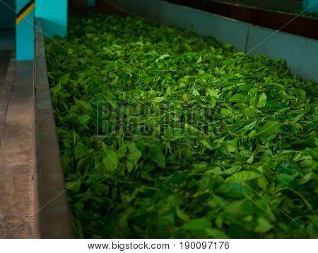 Production of processing tea leaves. Sri Lanka.
