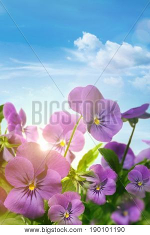 Spring violet flowers against a blue sky