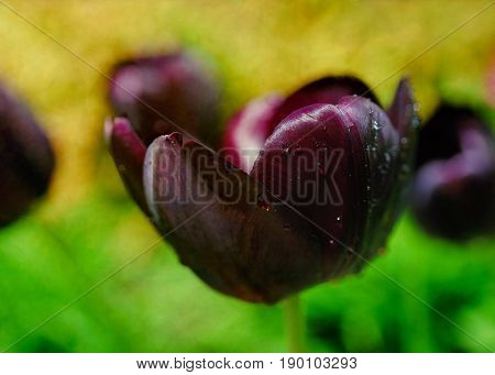 Dark purple red tulip that is almost black named 'Prince Charles', in the spring garden. Photographed with a specialty lens to produce shallow dof effects.