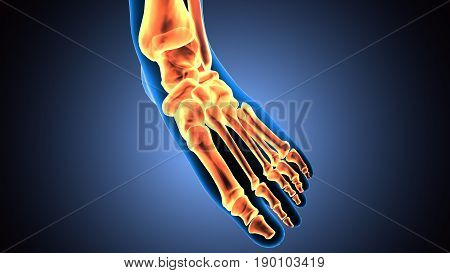 3D illustration of Foot Skeleton - Part of Human Skeleton.