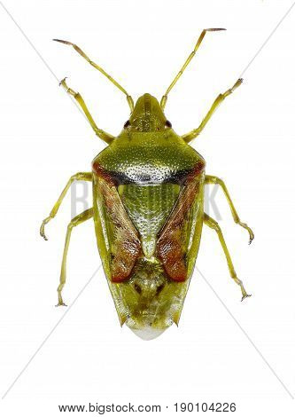 Juniper Shield Bug on white Background - Cyphostethus tristriatus (Fabricius 1787)