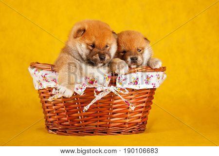 Shiba Inu puppies in a basket on yellow background. Studio shot.