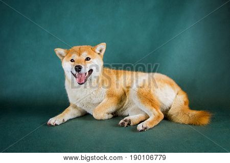 Shiba Inu on a green background with sticking out tongue .