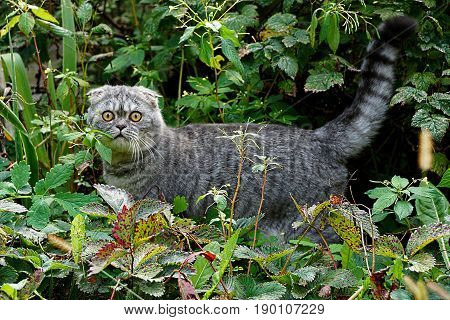A gray pedigree cat stands among the leaves and grass in the summer garden