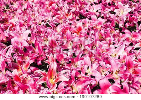 Many Pink Lily Flowers On Flowerbed