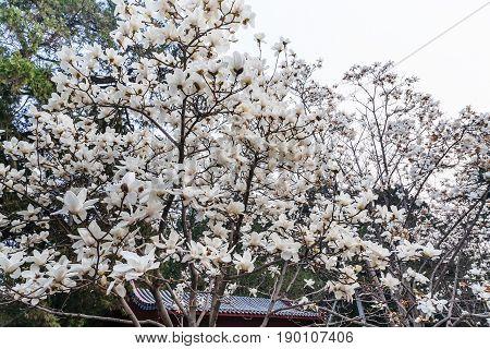 White Flowers On Magnolia Trees In Beijing