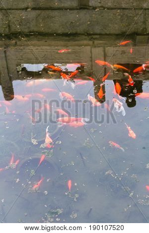 Goldfishes In Pool In Public Park In Beijing