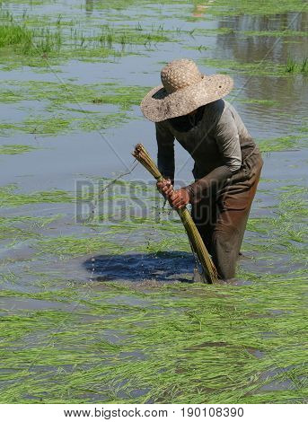 Ricefield worker wading in mud A female rice field worker wades in the muddy paddies to prepare the rice seedlings for planting.