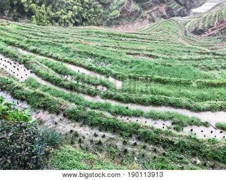 Above View Of Paddy On Terraced Field In Rain