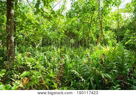 Dense undergrwoth along stunning bush walk through green forest and canopy to wonderful Matapa Chasn a popular travel destination on island of Niue in South Pacific