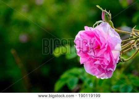 Bulgarian Rose Field Near Karlovo