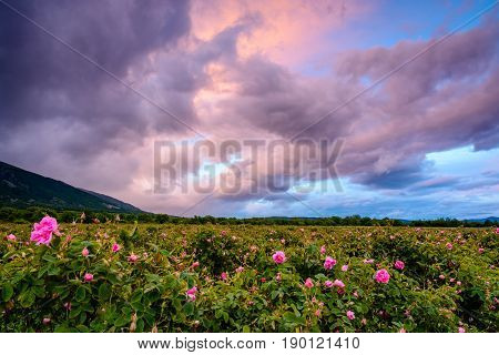 Bulgarian Rose Field Near Karlovo
