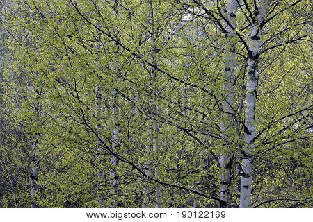 Several birches with large branches and brightgreen leaves in foreground