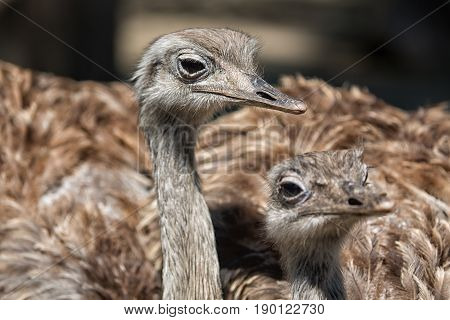 Group portrait of african ostrich close up. Selective focus.