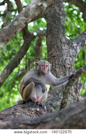 adult female rhesus monkey sits on a tree holding a branch