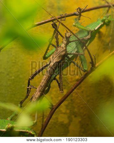Close Up On Malayan Jungle Nymph Heteropterix Dilatata