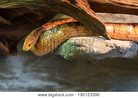 Close Up On Pantherophis Guttatus On The Rock