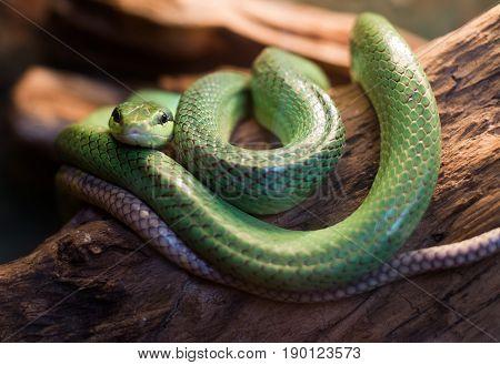 Red Tailed Rat Snake Gonyosoma Oxycephalum, Close Up