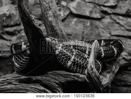 Close Up On Mongorova Snake On Tree,black And White