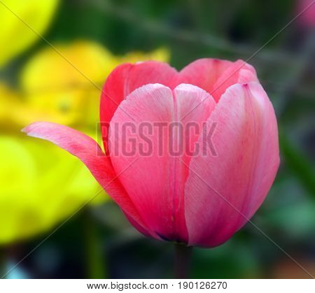Tulips is a perennial, bulbous plant with showy flowers in the genus Tulipa, of which up to 109 species