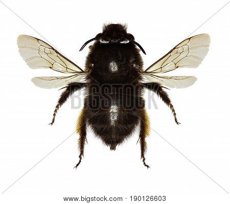 Hairy-footed Flower Bee on white Background - Anthophora plumipes (Pallas1772)