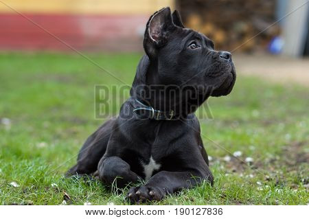 Puppy age 3 months of the Cane Corso breed lies on the grass