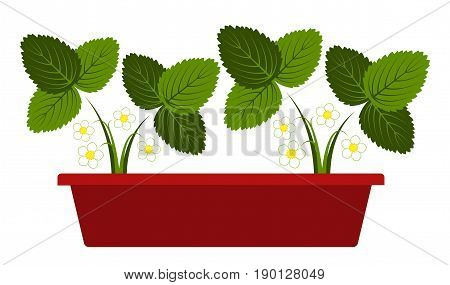 vector flowering strawberry plants in planter isolated on white background