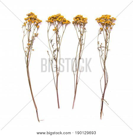 Flat lay dry branches of tansy grass on a white background. Tanacetum flower view from above.