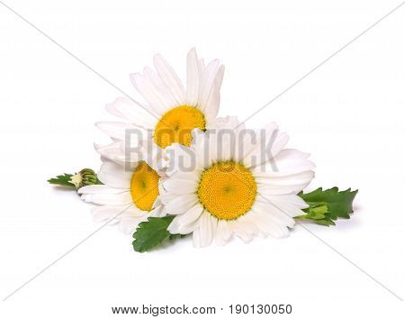 Three big daisies camomile isolated on white background. Group of spring flowers