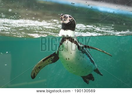 African penguins swim in the blue water.