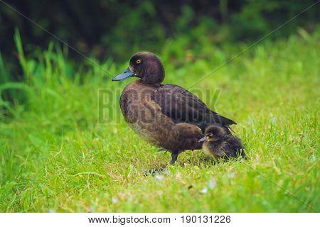 Mallard Duck With Her Duckling