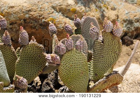 Flower buds on the beaver tail (Opuntia basilaris) prickly pear cactus in the arid desert landscape of Joshua Tree National Park in California.