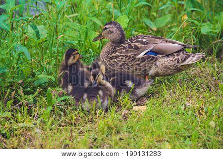 Mallard Duck With Her Ducklings