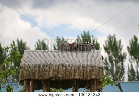 Lemurs sitting on the roof of the gazebo. A group of lemurs known as a conspiracy of lemurs preserving body heat in a tightly packed group.