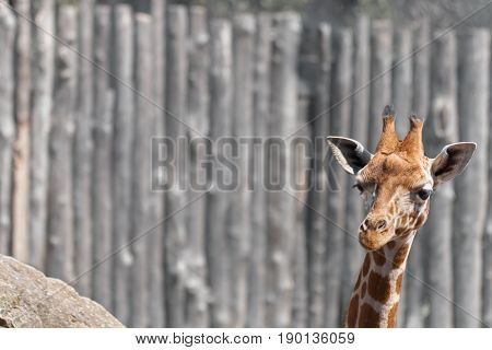 Head of baby giraffe looking over copy space available.