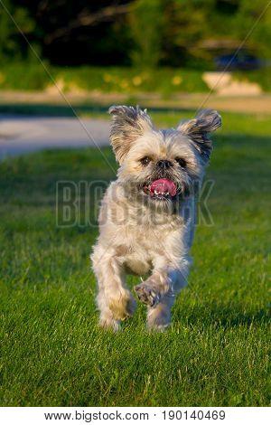 small white scruffy dog running through the grass