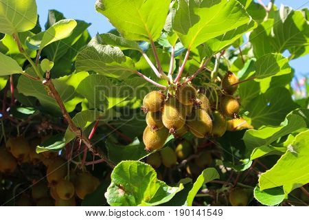Kiwis growing on a fruit tree in Capri Italy Eruope