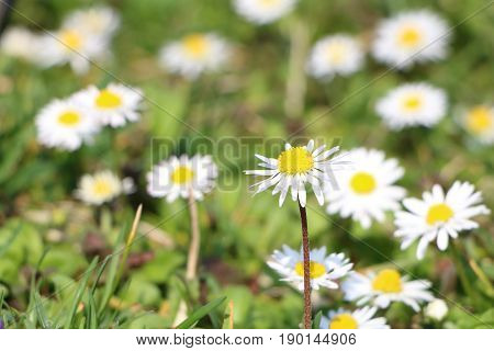 Grass full of ox-eye daisy - also oxeye daisy (Leucanthemum vulgare) with focus on one flower others in defocused background; also known as common daisy dog daisy and moon daisy